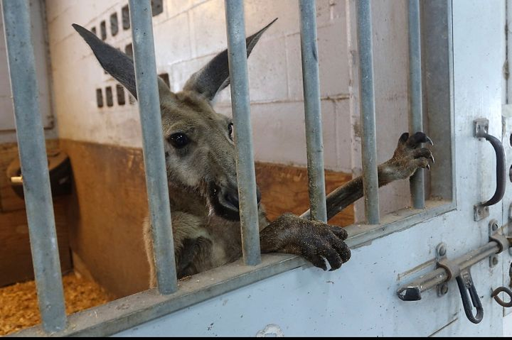 A kangaroo captured by Fort Lauderdale Police in the area of Andrews and Sunrise peers out from a stall at the Mounted Police