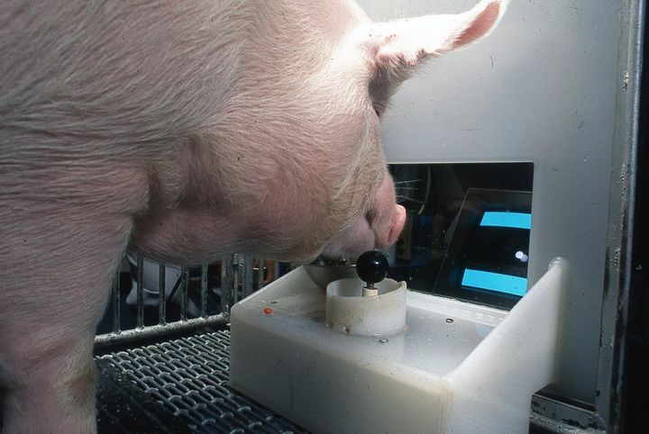 The pigs soon understood that the joystick's movement was connected with the computer cursor.
